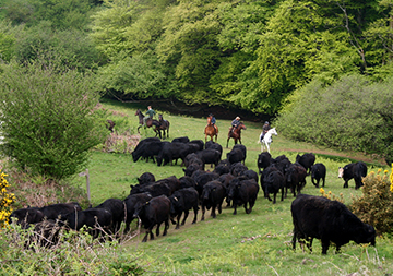 Dartmoor Cattle Drives and Ranch Holidays